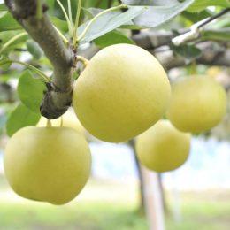 Get to know the Takasaki Jumbo Nashi (Pear)